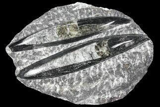Polished Orthoceras (Cephalopod) - Morocco For Sale, #96644
