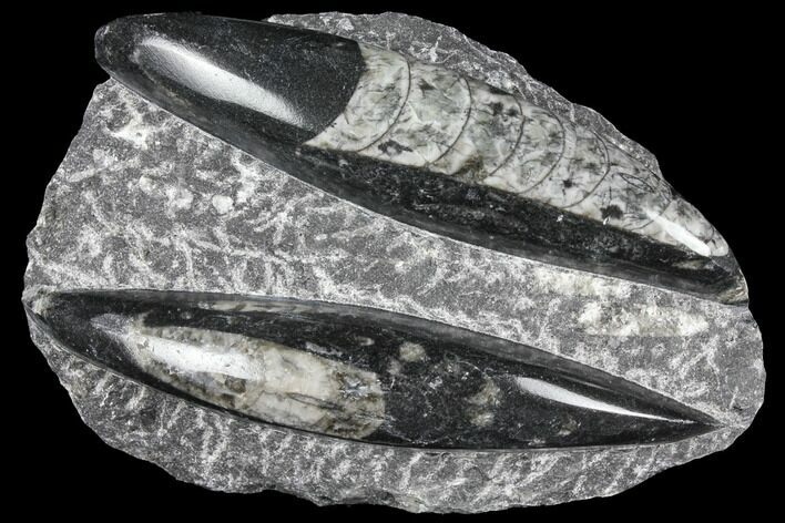 Polished Orthoceras (Cephalopod) Fossils - Morocco