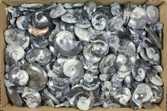 "Wholesale Box: Polished Goniatite Fossils 1-2"" - 250 Pieces"