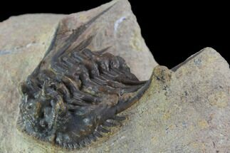 "1.2"" Spiny Leonaspis Trilobite - Morocco For Sale, #98615"