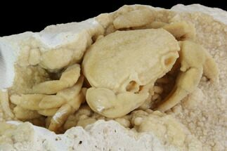 "Buy 3"" Fossil Crab (Potamon) Preserved in Travertine - #98905"