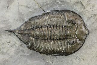 Dalmanites limulurus - Fossils For Sale - #99030