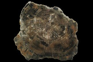 "Buy 8.8"" Polished Petrified Wood (Woodworthia) Section - Arizona - #99010"