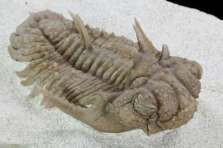 "2.05"" Exotic Hoplolichoides Trilobite - Russia For Sale, #99203"