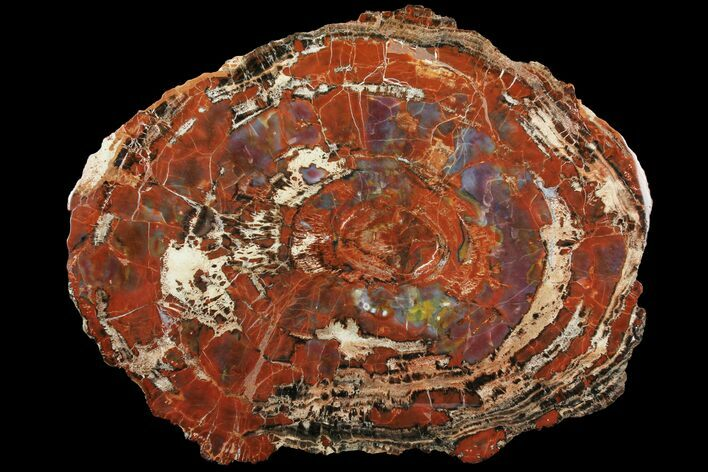 "19.1"" Colorful Petrified Wood (Araucarioxylon) Slab - Arizona"