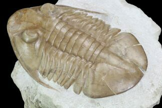 Asaphus platyurus - Fossils For Sale - #99243