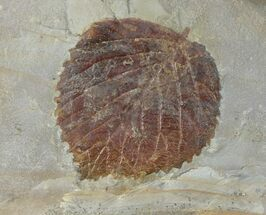 "Buy 1.8"" Detailed Fossil Leaf (Davidia) - Glendive, Montana - #99349"