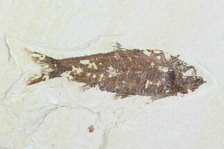 "Buy 3.1"" Detailed Fossil Fish (Knightia) - Wyoming - #99232"