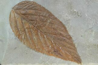 "Buy 2.2"" Detailed Fossil Hackberry Leaf - Montana - #99430"