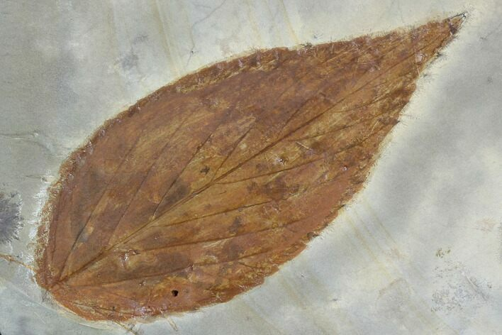 "2.6"" Detailed Fossil Hackberry Leaf - Montana"