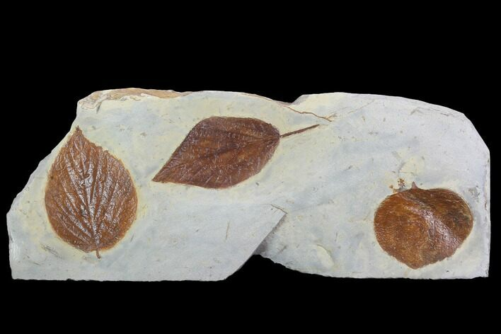 Three Detailed Fossil Leaves - Glendive Montana