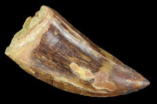 "Serrated, 2.52"" Carcharodontosaurus Tooth - Robust Tooth For Sale, #99794"