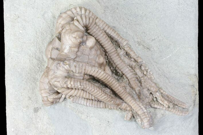 "2.1"" Crinoid Crown (Agaricocrinus) Fossil - Crawfordsville, Indiana"