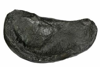 "Buy 3.7"" Fossil Whale Ear Bone - Miocene - #99979"