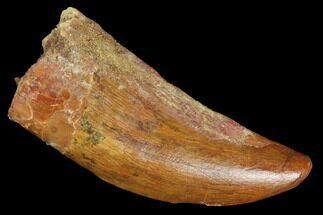 "Bargain, 1.65"" Juvenile Carcharodontosaurus Tooth - Morocco For Sale, #100091"