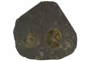 "Buy 4.4"" Dactylioceras Ammonite Cluster - Posidonia Shale, Germany - #100237"