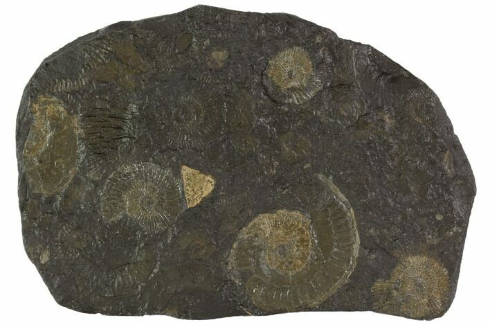 "5.3"" Dactylioceras Ammonite Cluster - Posidonia Shale, Germany"