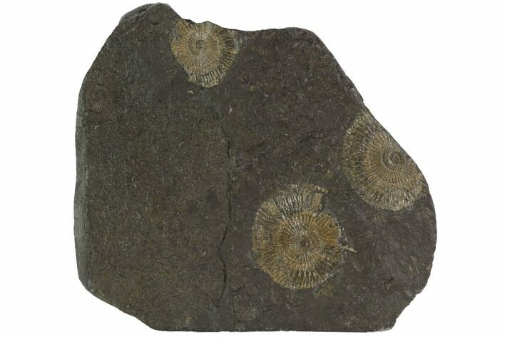 "5.1"" Dactylioceras Ammonite Cluster - Posidonia Shale, Germany"