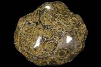 "3.2"" Polished Fossil Coral (Actinocyathus) - Morocco For Sale, #100571"