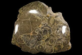 Actinocyathus sp. - Fossils For Sale - #100578