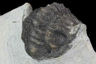 Crotalocephalus sp. - Fossils For Sale - #100686