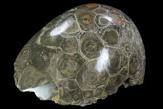 "Buy 3.9"" Polished Fossil Coral (Hexagonaria) - Morocco - #100720"