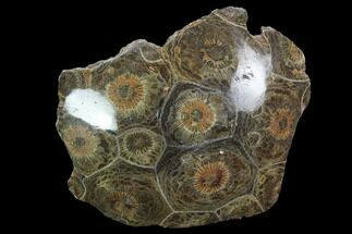 "Buy 2.2"" Polished Fossil Coral (Actinocyathus) - Morocco - #100654"