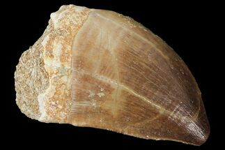 "Buy 1.5"" Mosasaur (Prognathodon) Tooth - Morocco - #101065"