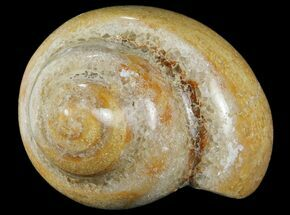 "3.4"" Polished Fossil Gastropod - Madagascar For Sale, #101135"