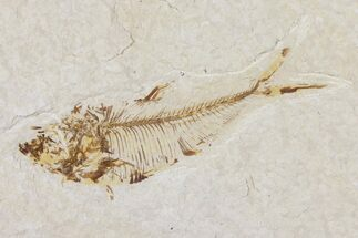 "2.9"" Diplomystus Fossil Fish - Wyoming For Sale, #101180"