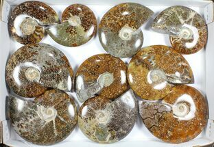 "Wholesale Lot: Polished Ammonites (3.9 -5.8"") - 10 Pieces For Sale, #101597"