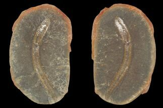 "1.9"" Didontogaster Fossil Worm (Pos/Neg) - Mazon Creek For Sale, #101549"