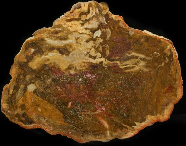 "7.4"" Polished, Jurassic Petrified Wood (Conifer) - Australia"