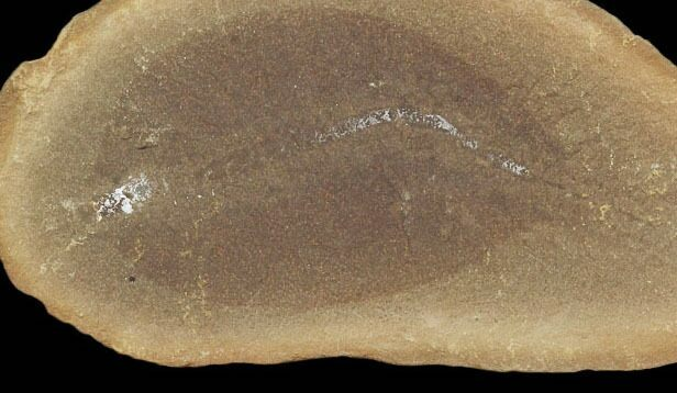"2.5"" Esconites Fossil Worm (Pos/Neg) - Mazon Creek"