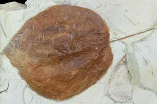 "4.8"" Fossil Leaf (Davidia) - Montana For Sale, #101960"