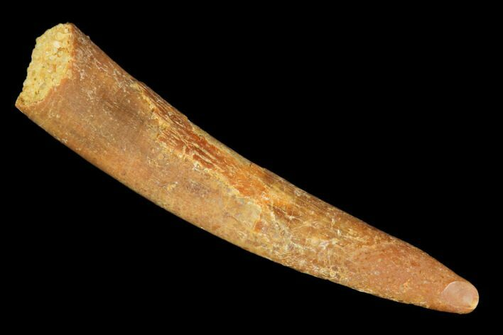 "1.32"" Pterosaur (Siroccopteryx) Tooth - Morocco"