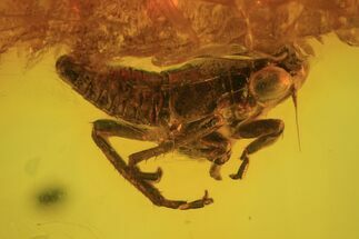 Fossil Cicada (Auchenorrhyncha) Nymph In Baltic Amber For Sale, #102746