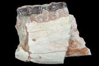 "Buy 1.4"" Oligocene Horse (Mesohippus) Jaw Section - #101866"