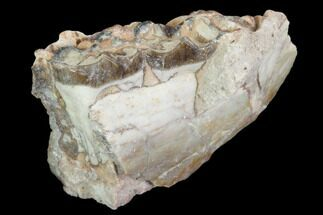 Mesohippus sp. - Fossils For Sale - #101874
