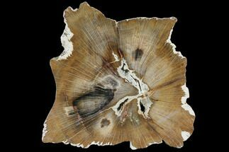 "9.0"" Petrified Wood Slab (Hickory) - Oregon For Sale, #103067"