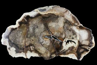 Carya sp. - Fossils For Sale - #103068