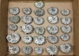 Wholesale: 5Kg Bumpy Ammonite (Douvilleiceras) Fossils - 52 pieces - #103213-1