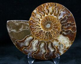 Cleoniceras - Fossils For Sale - #7332