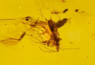 Cretaceous Fossil True Bug (Hemiptera) in Amber - Myanmar For Sale, #102905