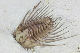 ".9"" Kettneraspis Trilobite - Black Cat Mountain For Sale, #104111"