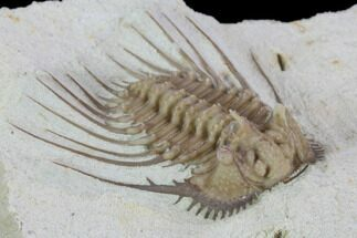 "Buy 1.05"" Kettneraspis Trilobite - Black Cat Mountain, Oklahoma - #104116"