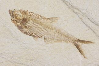 "3.4"" Diplomystus Fossil Fish - Wyoming For Sale, #103949"