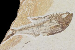 "Bargain 3.5"" Diplomystus Fossil Fish - Wyoming For Sale, #103952"