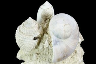 "2.7"" Tall, Miocene Fossil Gastropod Cluster - France For Sale, #104120"