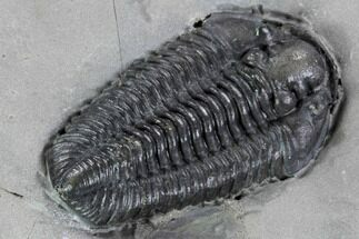 "1.35"" Calymene Niagarensis Trilobite - New York For Sale, #99032"